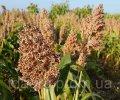 Семена зернового сорго Майло