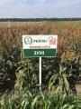 Семена зернового сорго Зуни, 65-80 дней