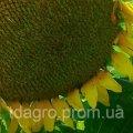 Семена подсолнечника Меркурий, экстра, под евролайтинг