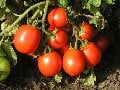 Семена томатов ФОРСАЖ F1 1000 сем.