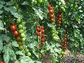 Семена томатов ХИЛМА F1 250 сем.