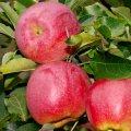 Саженец яблони Флорина зимний сорт
