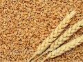 Зерно пшениці