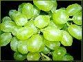 Виноград столовых сортов. Самых ранних сортов
