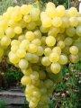 Саженцы винограда кишмиш 342