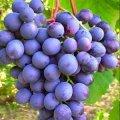 Саджанці винограду Агат Донський