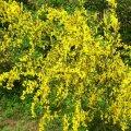 Ракитник /Cytisus Golden Sunlight С3, Н 40-70 см