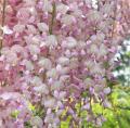 Глициния Вистерия Хонбени / Glicinia Wisteria Honbeni С7.5 200-220