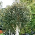 Береза полезная Grayswood Ghost / Betula utilis Grayswood Ghost С5 120-140
