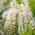 Глициния Шіро-нода / Wisteria floribunda Shiro-noda