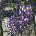 Глициния обильноцветущая Домино / Wisteria floribunda Domino С 7.5, Н 200-220