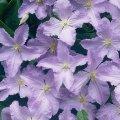 Клематис Блю Ангел (Clematis BLUE ANGEL) С1 h20 см