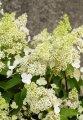 Гортензия метельчатая Мэджикал Гималая / Hydrangea paniculata Magical Himalaya Kolmahima C 10, Н 80-90 см