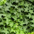 Плющ вечнозеленый / Hedera helix Р9, Н 10-20 см.