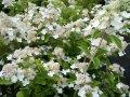 Гортензия метельчатая Прим Вайт / Hydrangea paniculata Prim White Dolprim PBR C10, Н 100
