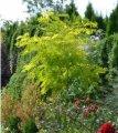 Робиния ложноакациевая / Робінія звичайна / Robinia pseudoacacia Altdorf C5 160 - 180
