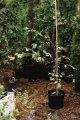 Граб обыкновенный / Граб звичайний / Carpinus betulus ROCKHAMPTON RED (LochglowPBR) C9 100 - 120