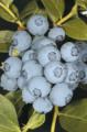 Голубика Нортланд (Vaccinium corymbosum Northland) , саженцы в контейнере 2 л, 2-х летние.