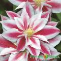 Саженцы клематиса,ANDROMEDA,АНДРОМЕДА,махровые, полные, повторное цветение,купить,цена