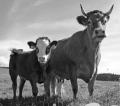 Заменители молока сухие Малеча 16/22 универсальный продукт для молодняка КРС