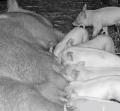 Заменители сухого обезжиренного молока для поросят  в период отъема