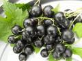 Смородина черная сорт Софиевская