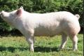 Чешские породы свиней