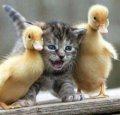 Молодняк добової й подрощенних качки