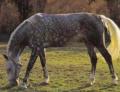 Продаются лошади орловской и русской рысистых пород