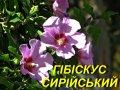 Гібіскус сирійський Арденс (фіолетовий) (ЗКС) 2 р.