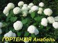 """Саженец Гортензии древовидной """"Аннабель"""""""