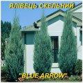 """Саджанці ялівцю Скельного \""""Blue Arrow\"""" (ЗКС) 3 р."""