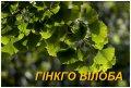 """Саджанці Гінкго \""""Білоба\"""" (ЗКС) 2 р."""