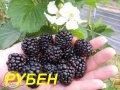 "Саженцы Ежевики ""Рубен"" (ЗКС) 2 г."