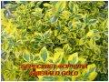 "Саджанці Бруслини \""Emerald Gold\"" (ЗКС) 3г."