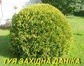 """Саженец Туи западной """"Даника"""" 3 г."""