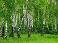 Саджанці білої берези (ЗКС)