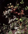 Плоды кориандра