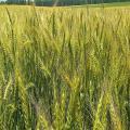 Озимая пшеница - элита (Богдана)