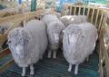 Племенные овцы. Только на ЭКСПОРТ. Крупным оптом