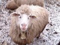 Rams. We work only for EXPORT. Large wholesale