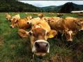 Bovine, rase de carne