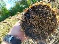 Насіння соняшника Бенето компанії MAS Seeds (екстра)