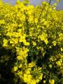 Семена рапса озимого Полярис РС раундап устойчивый