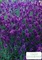 Лаванда узколистная 'angustifolia'