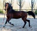 Златогор, Молодые лошади