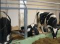 Цепь (типа СТПВ) стальная для привязи животных; цепи  привязи и содержания  скота(двухконцевые, трехконцевые) -производство, продажа оптом. Украина. Экспорт.