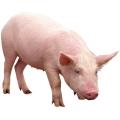 Кормовые концентраты, 1200 БМВД Гроуер для свиней 15% Провими, 50 кг