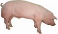 Кормовые концентраты, 1300 БМВД Финишер для свиней 10% Провими, 50 кг