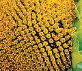 Десиканты Скорпион для снижения влажности зерна и остановки развития и распространения заболеваний подсолнечника